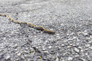 Fuzzy, hairy colorful caterpillars crossing the road