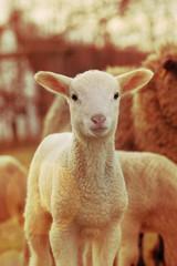 Lamb, backlit