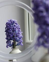 Hyacinth double