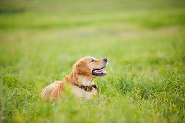 Labrador retriever, laying in front of grass background