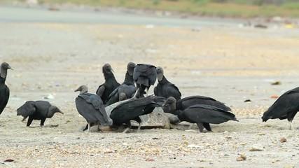 Dead loggerhead turtle eaten by black vultures, Ecuador
