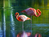 Fototapety Two pink flamingos standing in the water. Stylized photo