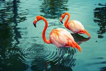 "Постер, картина, фотообои ""Two pink flamingos walking in the water with reflections"""