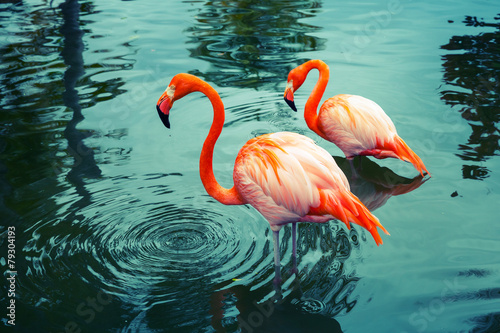 Two pink flamingos walking in the water with reflections - 79304193