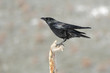 Common crow, ( Corvus corone), perched on a branch