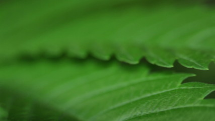 Marijuana leaf macro