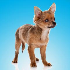 Beautiful chihuahua dog  on blue background