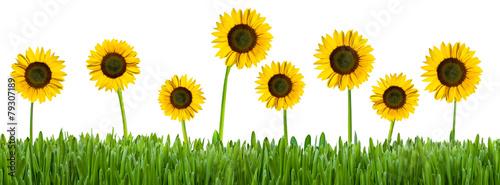 Sonnenblumen auf der Wiese