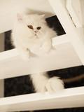 Adorable white kitty
