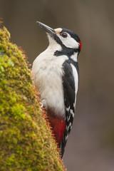 Woodpecker (Dendrocopos major) perched on a log