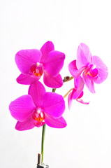 pink flowers orchid on white background