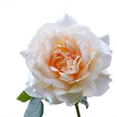 Cream rose closeup isolated