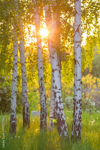 birch trees in a summer forest - 79322198