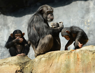 Mother and Children Chimps