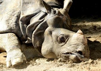 Rhinoceros on the ground