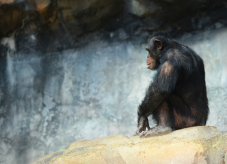 Chimp Alone