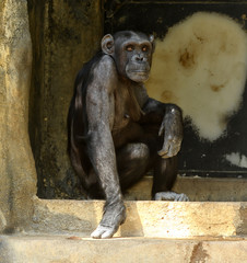 Chimp in The Doorway