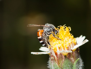 bee on a tridax procumbens small flowers in nature