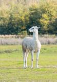 Alone llama