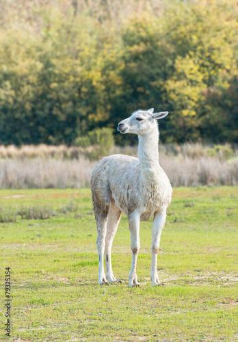 In de dag Lama Alone llama