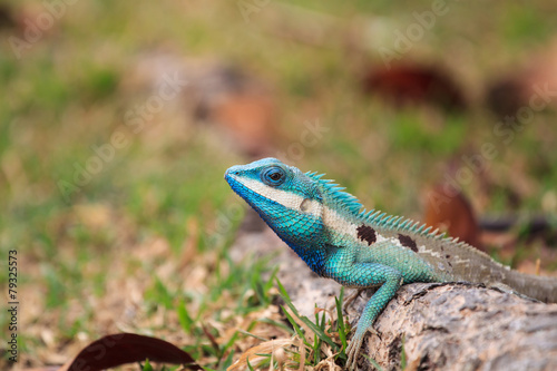 Staande foto Kameleon thai lizard