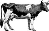 Vintage graphic farm cow