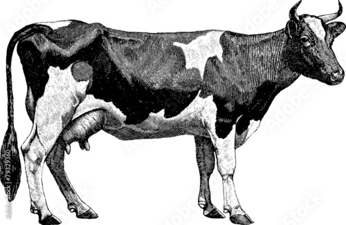 Vintage graphic farm cow - 79329360