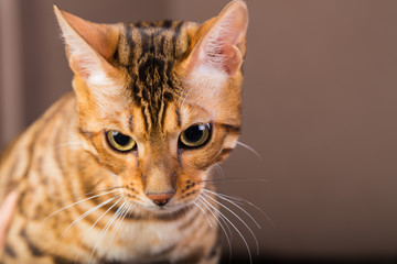 Portrait of bengal cat close-up. Bengak cat on brown