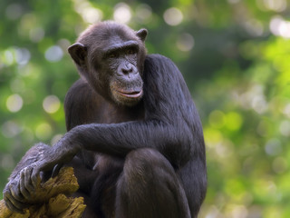 Common Chimpanzee