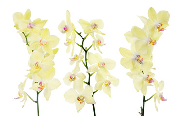 set of three yellow orchid isolated branches