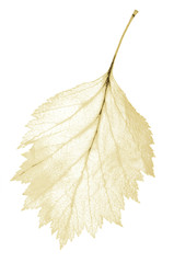 isolated jagged yellow leaf skeleton