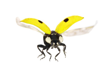 isolated flying yellow ladybug