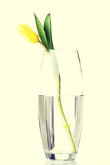 One tulip flower in wase with water.