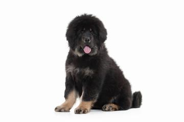 Dog. Tibetan mastiff puppy on white background