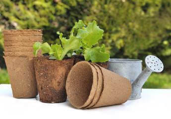 pots de culture biodégradables et  plants de salade