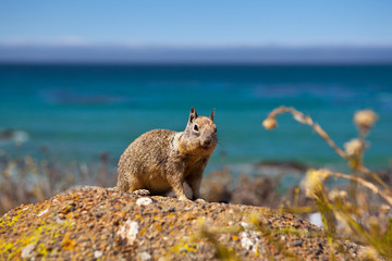USA - squirell on Pacific Coast Highway one