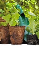 plants de salade dans pots biodégradables