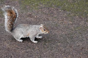grauhörnchen