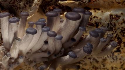 Oyster Mushroom Time-lapse