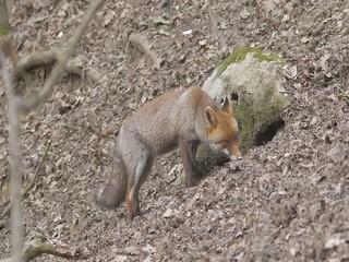 Red fox ,Vulpes vulpes, volpe rossa cerca cibo