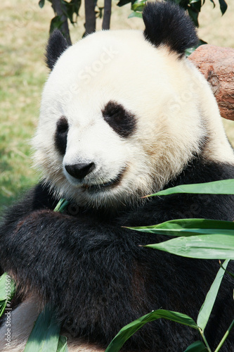 Papiers peints Panda Panda eating bamboo