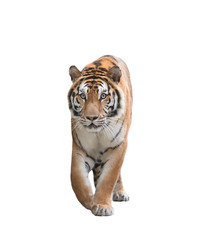 bengal tiger isolated
