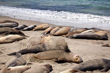 USA - Pacific Coast Highway one - seals cololny