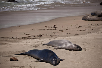 USA - Pacific Coast Highway one - seals cololny