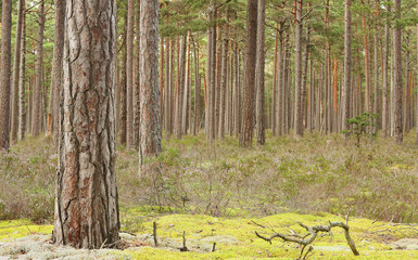 Natural pine forest, important habitat for many rare insects