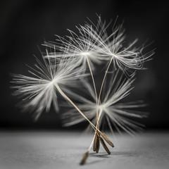 Dandelion seeds standing