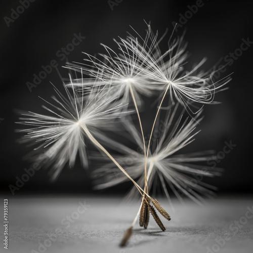 Zdjęcia na płótnie, fototapety na wymiar, obrazy na ścianę : Dandelion seeds standing