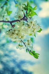 blossom of cherry tree close up floral background instagram stil