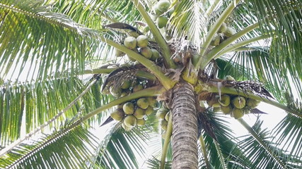gathering coconut by using a long bamboo stick