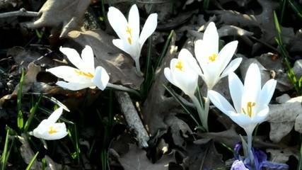 Crocus vernus Szafran wiosenny Шафран весенний